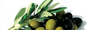 زیتون رکن اصلی رژیم غذایی مدیترانه/ دکتر پرویز قدیریان