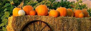 کدوی هالووین و خواص آن/ دکتر پرویز قدیریان