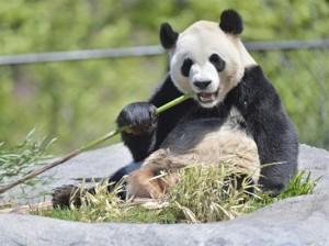 پاندای باغ وحش تورنتو در حال صرف غذای مورد علاقه اش، بامبو