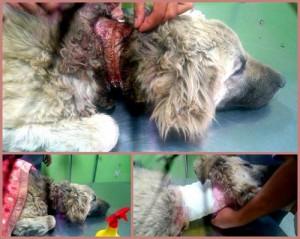 رسیدگی به سگ مظلومی که طناب دور گردنش در گوشت فرو رفته بود