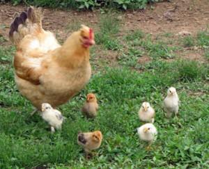 hen-&-baby-chicken