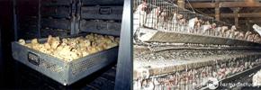 حقایقی در مورد مرغ و تخم مرغ/دوستداران وفا
