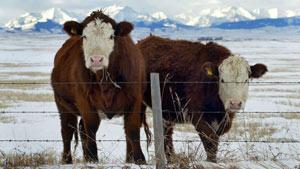کشف یک مورد گاو مبتلا به جنون گاوی در آلبرتا