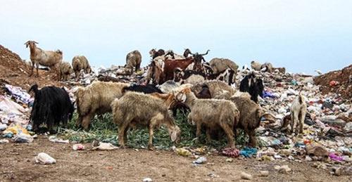 sheep--garbage