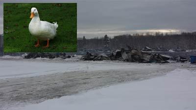 پنجاه هزار اردک در یک آتش سوزی بزرگ جان باختند