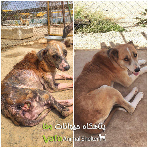 سگ های گیلان قبل و بعد از درمان
