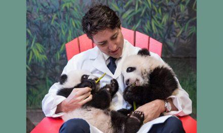 یک ساله شدن پانداهای دوقلوی باغ وحش تورنتو