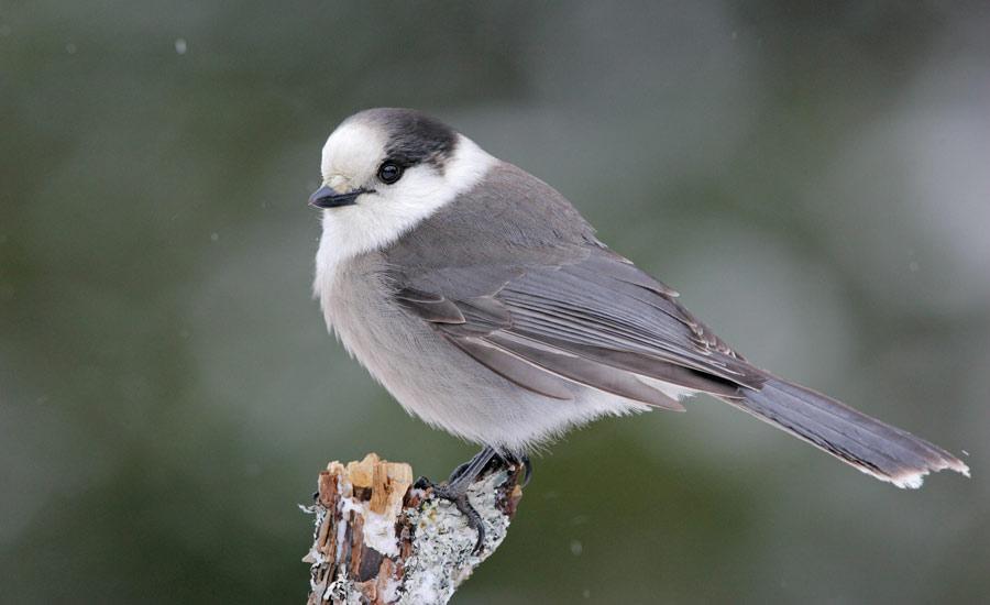 احتمال ثبت زاغ خاکستری به عنوان پرنده ی ملی کانادا
