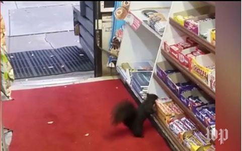 سنجاب های شکلات دزد دردسرساز شدند