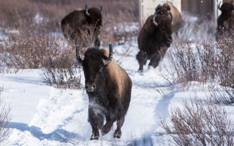 پس از یک قرن صدای گاومیش ها در پارک ملی بنف درآمد