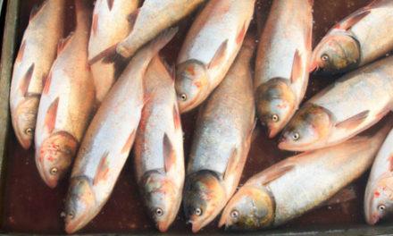 ازدیاد ماهی آمور در دریاچه های بزرگ آمریکا و کانادا