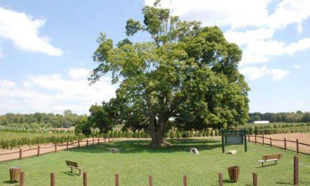 قدیمی ترین درخت افرا در کانادا