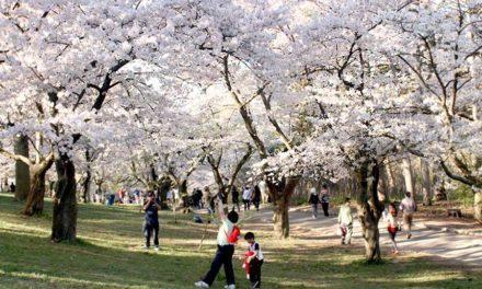 """شکوفه های گیلاس در """"های پارک"""" تورنتو"""