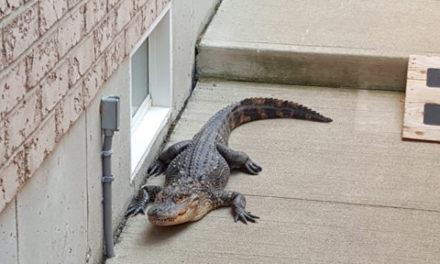 پیدا شدن تمساح در حیاط خانه ای در همیلتون انتاریو