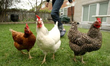 مژده به دوستداران مرغ در تورنتو