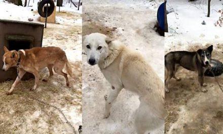 وضعیت ناگوار سگ های سورتمه رانی در انتاریو