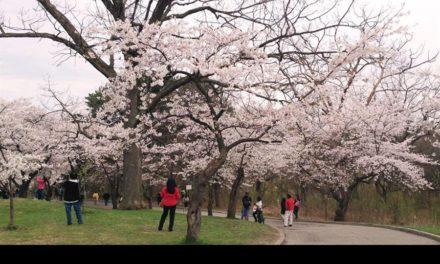 با گرم شدن هوا دیدن شکوفه های گیلاس را در های پارک تورنتو از دست ندهیم