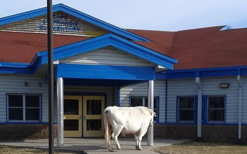 در کانادا گاوها هم عاشق مدرسه رفتن هستند