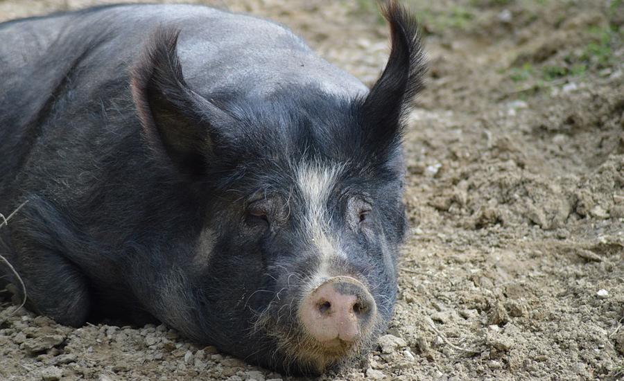 خوک مزاحم در اوهایو دستگیر شد