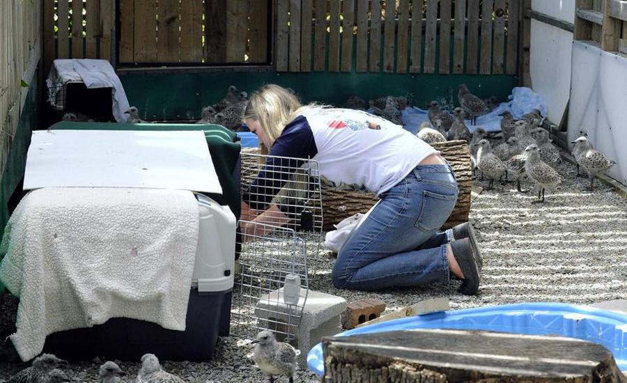 نجات دهها مرغ دریایی که از سقف داغ خودشان را به پایین پرت کردند