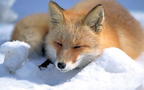 نجات روباه قطبی از روی یخ های شناور