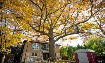 قدیمی ترین درخت تورنتو نجات پیدا می کند