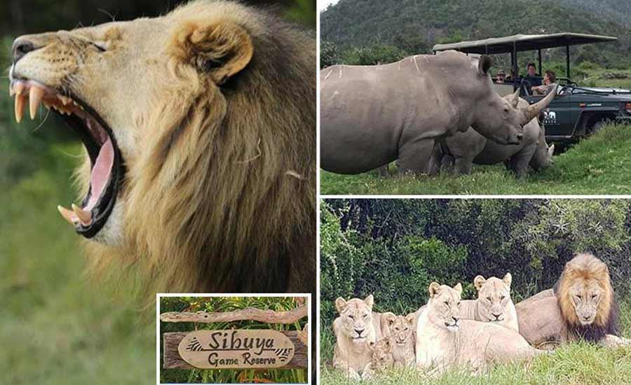 شیرها شکارچیان غیرقانونی را خوردند