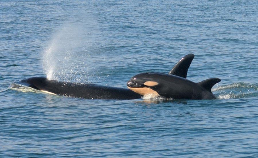 نهنگ مادر ۱۷ روز برای فرزند مرده اش سوگواری کرد
