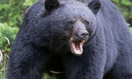 حمله خرس گریزلی جان مادر و دختر را گرفت