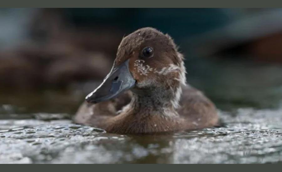 نایاب ترین گونه ی پرنده در جهان به دل طبیعت بازگشت