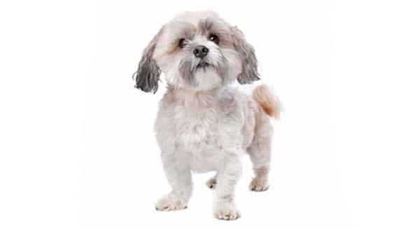 ماکسی، سگ قربانی اسیدپاشی در تهران، در ونکوور جراحی می شود