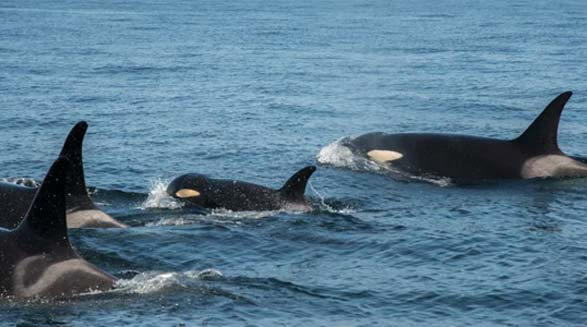 وضعیت نهنگ های قاتل با مرگ مادربزرگشان بدتر خواهد شد