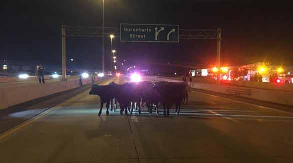فعالان حقوق حیوانات به کمک گاوهای سرگردان در اتوبان ۴۰۱ آمدند