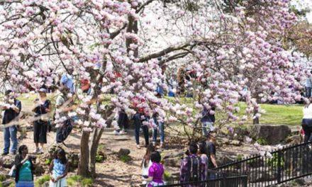 شکوفه های گیلاس تورنتو امسال کمی با تأخیر باز می شود
