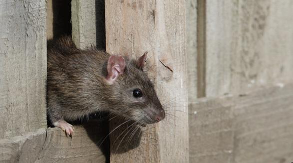 افزایش جمعیت موش ها در تورنتو طی دو دهه ی اخیر