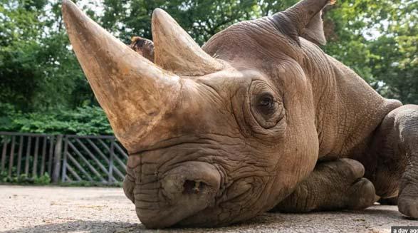 پنج کرگدن سیاه شرقی در خطر انقراض به محل زندگی طبیعی شان منتقل شدند