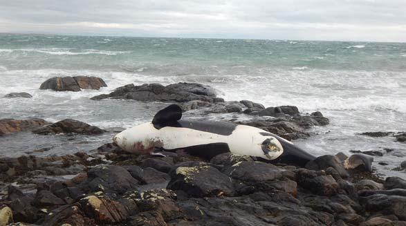 آب و غذای آلوده عامل مرگ و نابودی نهنگ های شکارچی