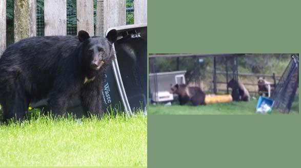 خرسهای گرسنه به دنبال غذای سگ وارد حیاط خانه ای در آلبرتا شدند