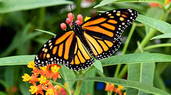 افزایش پروانه های سلطنتی در تورنتو